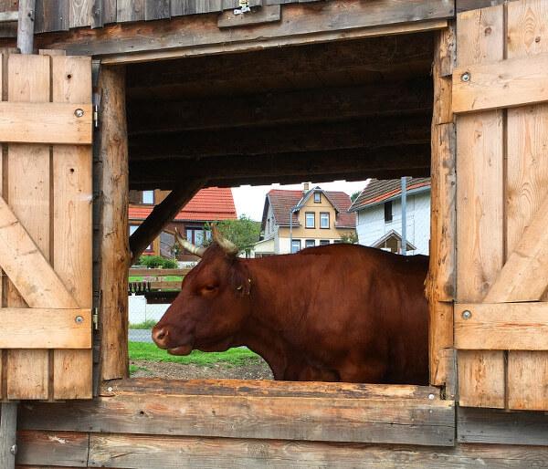 Kuh blick durchs Fenster