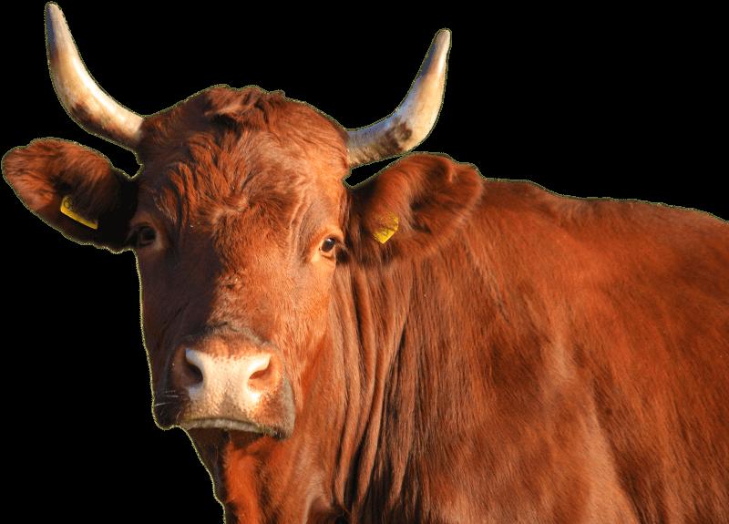 Rind Kuh Bulle mit Blick in die Kamera