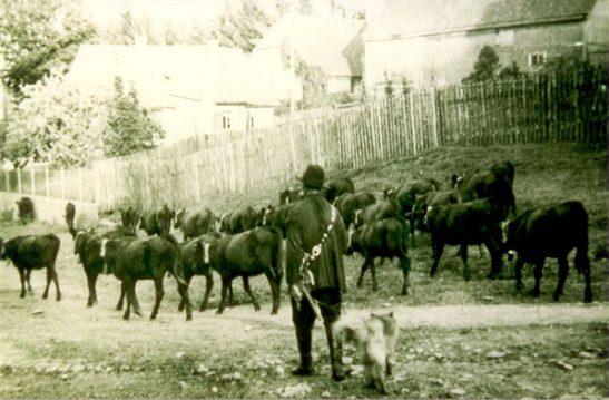 Harzer Rotes Höhenvieh Herde Historische Aufnahme