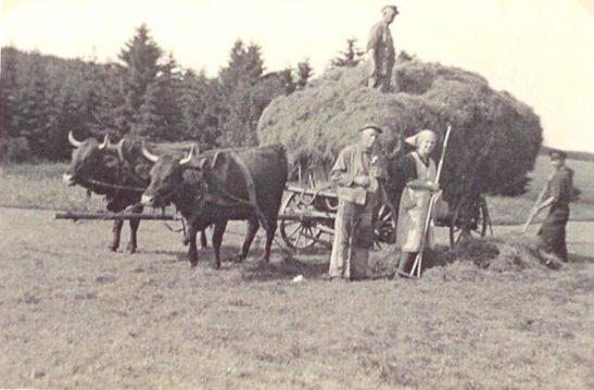 Harzer Rotes Höhenvieh Historisches Bild mit Heuwagen